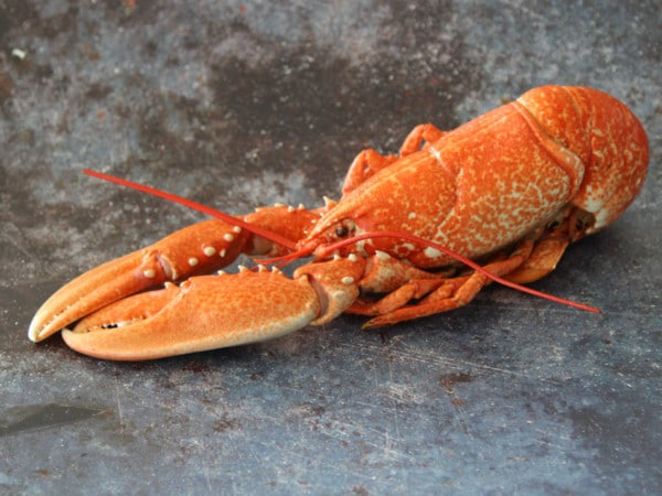 Whole Cornish Lobster   Order Online   Next Day Delivery