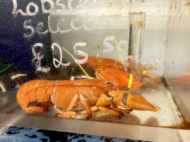 Orange Canadian Lobster